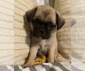 Pug Puppy for sale in FREDBG, VA, USA