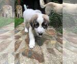 Small #15 Anatolian Shepherd-Maremma Sheepdog Mix
