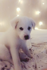 Great Pyrenees Puppy For Sale in LAS VEGAS, NV