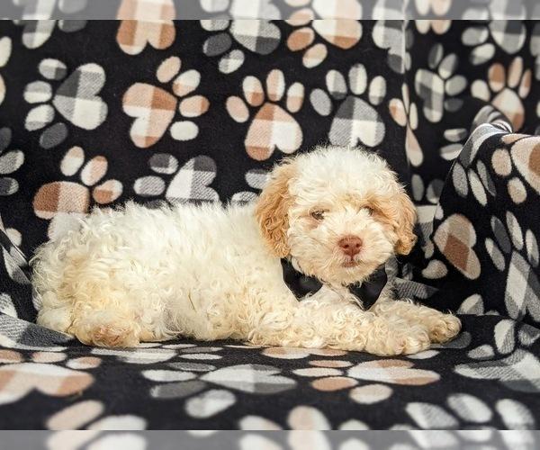 Medium Photo #5 Shih-Poo Puppy For Sale in LINCOLN UNIV, PA, USA