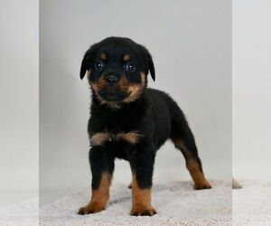 Rottweiler Dog for Adoption in NAPPANEE, Indiana USA