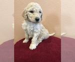 Puppy 8 Goldendoodle-Poodle (Standard) Mix