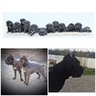 Cane Corso Puppy For Sale in Debrecen, Hajdu-Bihar, Hungary