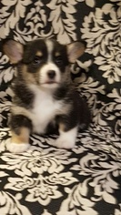 Pembroke Welsh Corgi Puppy For Sale in BLISS, ID