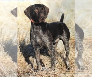 Father of the German Shorthaired Pointer puppies born on 04/23/2019