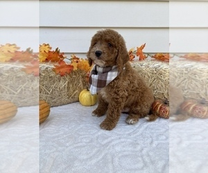 Goldendoodle-Poodle (Toy) Mix Puppy for sale in ORLANDO, FL, USA