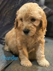 Goldendoodle Puppy For Sale in IDAHO FALLS, ID