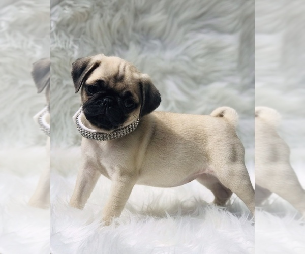 Medium Photo #1 Pug Puppy For Sale in CANTON, CT, USA