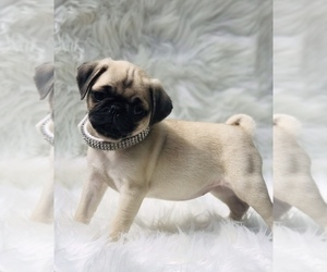 Pug Puppy for sale in CANTON, CT, USA
