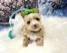 Yorkshire Terrier Puppy For Sale in ADAMSVILLE, TN, USA