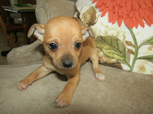 View Ad: Chihuahua Litter of Puppies for Sale near Michigan