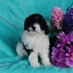 Cavapoo Puppy For Sale in GAP, PA