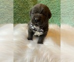 Small Photo #2 Cane Corso Puppy For Sale in BARGAINTOWN, NJ, USA