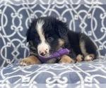 Small #12 Australian Shepherd