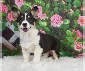 Pembroke Welsh Corgi Puppy for sale in WARSAW, IN, USA