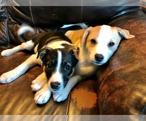 American Eskimo Dog-Fox Terrier (Smooth) Mix Puppy for sale in STAFFORD SPRINGS, CT, USA