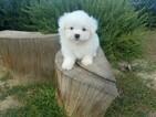 Maltese Puppy For Sale near 91350, Santa Clarita, CA, USA