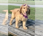 Small #14 Goldendoodle