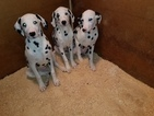 Dalmatian Puppy For Sale in DUVALL, Washington,