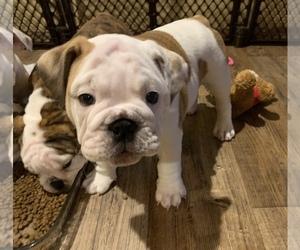 Bulldog Puppy for Sale in ORTING, Washington USA