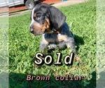 Puppy 7 Bluetick Coonhound