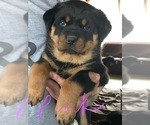 Rottweiler Puppy For Sale in PARK FOREST, IL, USA