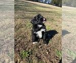 Small #2 Portuguese Water Dog
