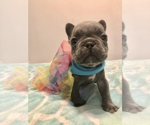 French Bulldog Dog for Adoption in BERWYN, Illinois USA