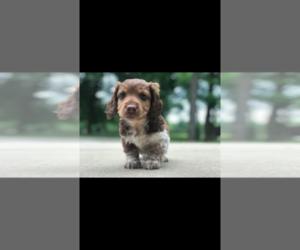 Dachshund Puppy for Sale in ORONOGO, Missouri USA