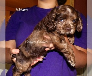 Cocker Spaniel Puppy for sale in ELKLAND, MO, USA