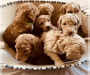 Goldendoodle-Poodle (Standard) Mix Puppy for Sale in ISLAND CITY, Oregon USA