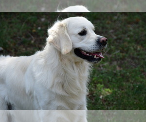 Father of the English Cream Golden Retriever puppies born on 05/12/2021