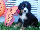 Bernese Mountain Dog Puppy For Sale in BALTIC, OH, USA