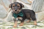 Shorkie Tzu Puppy For Sale in QUARRYVILLE, PA, USA
