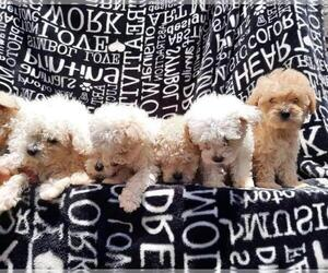 Poodle (Miniature) Puppy for sale in SAN DIEGO, CA, USA