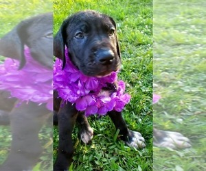 Great Dane Puppy for Sale in JACKSONVILLE, Illinois USA