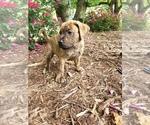 Puppy 4 Boxer-Catahoula Leopard Dog Mix