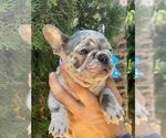 Small #1 French Bulldog