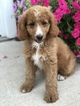 Poodle (Standard) Puppy For Sale in LEO, Indiana,