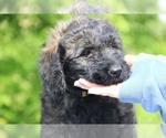 Small #41 Goldendoodle