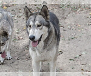 Father of the Wolf Hybrid puppies born on 11/02/2020