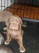 Puppy 4 Neapolitan Mastiff-Vizsla Mix