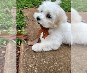 Maltese Puppy for Sale in OPELIKA, Alabama USA