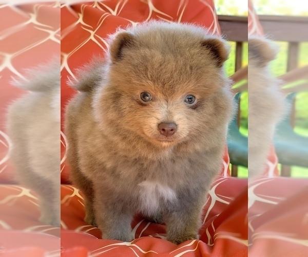 Medium Photo #2 Shih Tzu Puppy For Sale in BUFORD, GA, USA