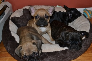 French Bulldog Puppy For Sale in CHICAGO, IL
