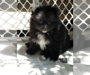 Puppyfinder.com: Pomeranian puppies puppies for sale near ...