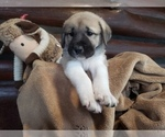 Small #24 Anatolian Shepherd-Maremma Sheepdog Mix