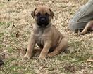 Puppy 8 Boerboel
