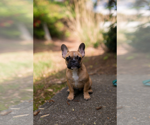 French Bulldog Puppy for sale in ATL, GA, USA