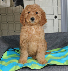 Goldendoodle-Poodle (Standard) Mix Puppy for sale in GAP, PA, USA